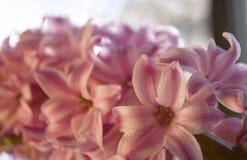 Jacinto in der Blüte Lizenzfreies Stockfoto