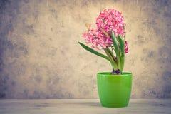 Jacinto fresco cor-de-rosa em um potenciômetro Fotografia de Stock Royalty Free