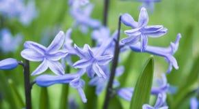 Jacinto púrpura en la hierba Fotos de archivo