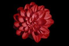 Jacinto rojo Imagenes de archivo