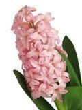 Jacinto rosado Foto de archivo libre de regalías