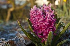 jacinto rosado Foto de archivo