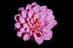 jacinto rosado Fotos de archivo