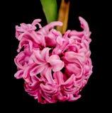 jacinto rosado Imágenes de archivo libres de regalías