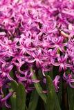 jacinto rosado Imagen de archivo libre de regalías