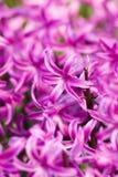 jacinto rosado Fotografía de archivo libre de regalías
