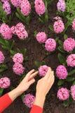 Jacinto rosado conmovedor de las manos de Womans en macizo de flores Fotos de archivo libres de regalías