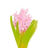 Jacinto rosado en el fondo blanco Fotografía de archivo libre de regalías