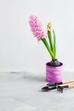 Jacinto rosado y herramientas que cultivan un huerto en fondo concreto gris Fotografía de archivo libre de regalías