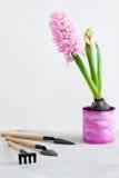 Jacinto rosado y herramientas que cultivan un huerto en fondo concreto gris Imágenes de archivo libres de regalías