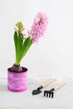 Jacinto rosado y herramientas que cultivan un huerto en fondo concreto gris Foto de archivo