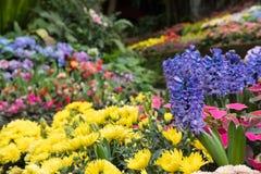 jacinto roxo & flor amarela do crisântemo no jardim bloomin fotografia de stock royalty free