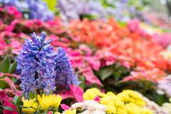 jacinto roxo & flor amarela do crisântemo no jardim bloomin imagens de stock royalty free