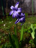 Jacinto - violeta Fotos de Stock