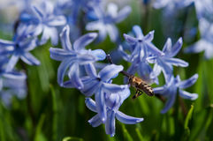 Jacinto y abeja azules Foto de archivo libre de regalías