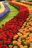 Jacinto y tulipanes florecientes en el jardín de flores Keukenhof en primavera Foto de archivo