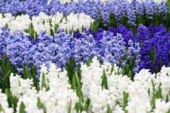 Jacintos azuis e brancos Fotografia de Stock Royalty Free