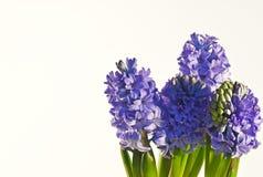 Jacintos azules Foto de archivo libre de regalías
