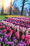 Jacintos bonitos no parque Fotografia de Stock
