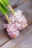 Jacintos cor-de-rosa Imagens de Stock Royalty Free