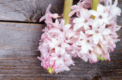 Jacintos cor-de-rosa Fotos de Stock