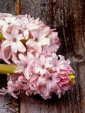 Jacintos cor-de-rosa Fotografia de Stock Royalty Free