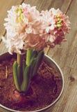Jacintos cor-de-rosa da beleza Foto de Stock