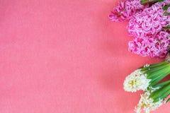 Jacintos cor-de-rosa e brancos no espaço cor-de-rosa da cópia Imagens de Stock