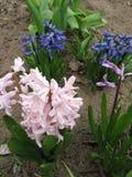 Jacintos cor-de-rosa e violetas Imagens de Stock Royalty Free
