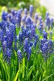 Jacintos de uva azules, flores del muscari fotos de archivo