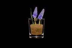 Jacintos de uva en un vidrio Imagen de archivo libre de regalías