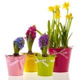 Jacintos e daffodils coloridos Imagem de Stock