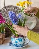 Jacintos florecientes de riego de la mano femenina en una pote-taza del vintage Fotografía de archivo