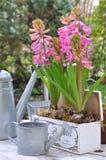 Jacintos florecientes en una caja Imagen de archivo