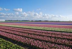jacintos Holanda de los bulbo-campos Imagen de archivo