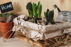 Jacintos novos em uma caixa de madeira Foto de Stock