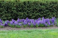 Jacintos púrpuras foto de archivo libre de regalías