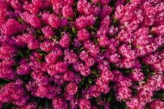 Jacintos rosados Imagenes de archivo