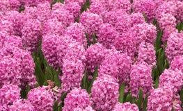 Jacintos rosados Foto de archivo