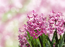 Jacintos rosados de la primavera sobre fondo borroso. Fotografía de archivo