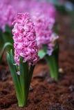 Jacintos rosados de las flores del fondo Fotos de archivo