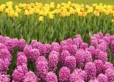 Jacintos rosados y tulipanes amarillos Fotografía de archivo