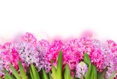 Jacintos rosados y violetas Imágenes de archivo libres de regalías