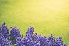 Jacintos roxos brilhantes em um prado fotos de stock
