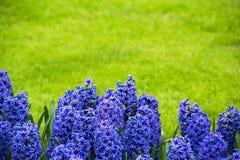 Jacintos roxos brilhantes em um prado fotos de stock royalty free