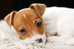 Jack. Russel terrier on white sheet Royalty Free Stock Images