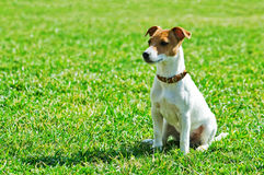 Jack. Russel on green lawn Stock Photo