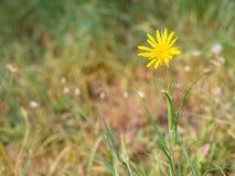 Jack-andare--letto--mezzogiorno di pratensis del Tragopogon, fiore della salsefica di prato che fiorisce su un prato immagini stock