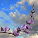Jack Bean Flower Stock Image