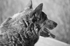 Jack Black och vit Fotografering för Bildbyråer
